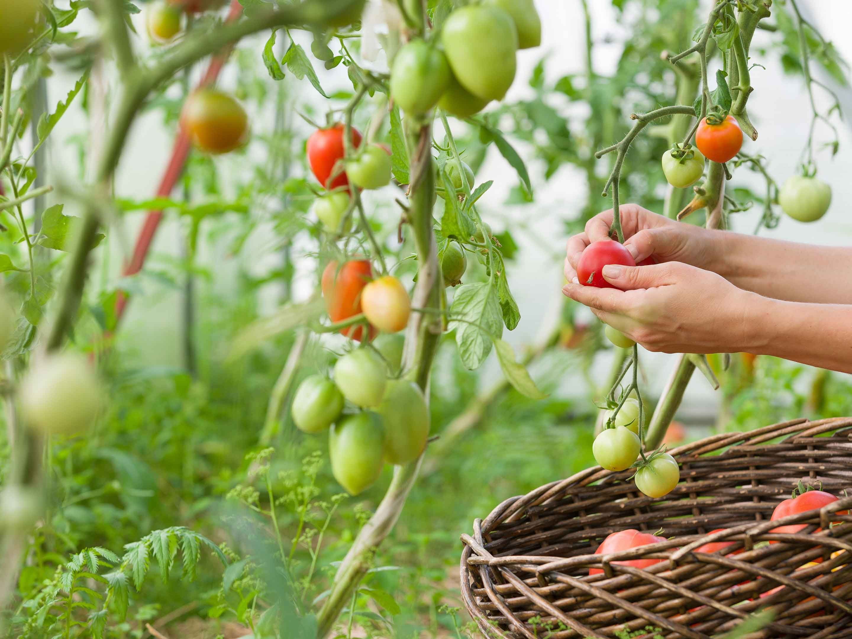 11+ When to stop watering tomatoes ideas in 2021