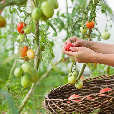 caring tomatoes