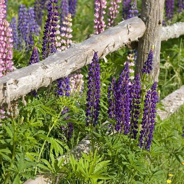 fragrance-garden-flower-fence