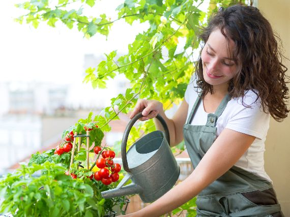 watering tomatoes